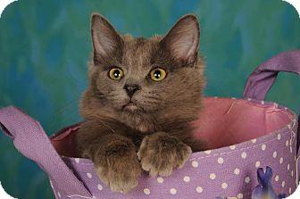 Domestic Mediumhair Cat for adoption in mishawaka, Indiana - Gracie