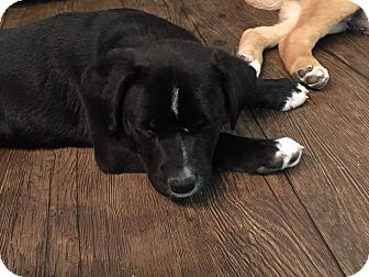 St. Bernard/Pit Bull Terrier Mix Puppy for adoption in Regina, Saskatchewan - Pepper