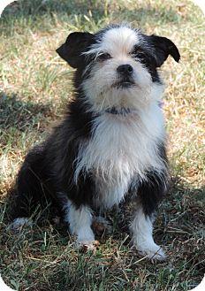 Shih Tzu/Chihuahua Mix Dog for adoption in Anderson, South Carolina - Cosmo