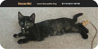 Domestic Shorthair Kitten for adoption in Waldorf, Maryland - Zena