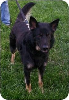 German Shepherd Dog Dog for adoption in Nesbit, Mississippi - Yanni