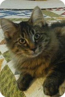 Domestic Longhair Cat for adoption in Warren, Ohio - Meg