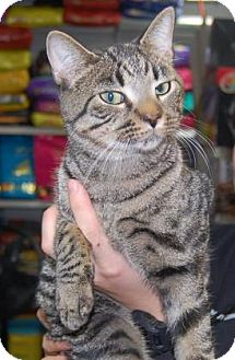 Domestic Shorthair Cat for adoption in Brooklyn, New York - Toshi