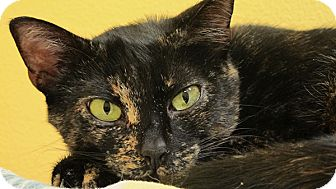 Domestic Shorthair Cat for adoption in Eastsound, Washington - Pepsi