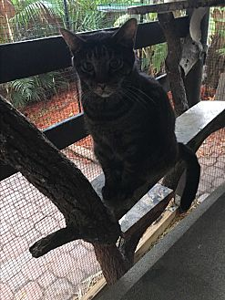Domestic Shorthair Cat for adoption in Lauderhill, Florida - Toby