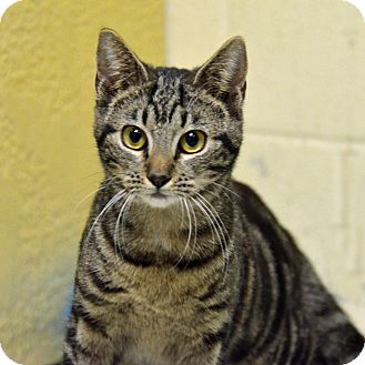 Domestic Shorthair Cat for adoption in Brooksville, Florida - 10310047