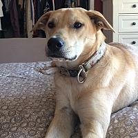 Labrador Retriever Mix Dog for adoption in Sagaponack, New York - Sandy