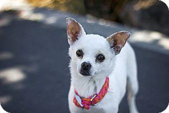 Chihuahua Dog for adoption in Berkeley, California - Chloe