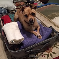 Chihuahua Dog for adoption in Grapevine, Texas - Holly