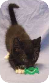 Domestic Shorthair Kitten for adoption in Walker, Michigan - Wallabee