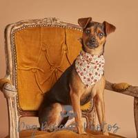 Adopt A Pet :: Rolo - Dallas, TX