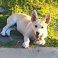 Adopt A Pet :: Disco puppy - Los Angeles, CA