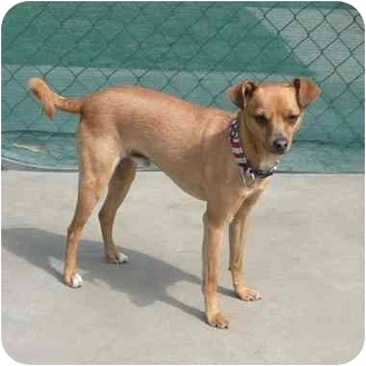 Chihuahua Mix Dog for adoption in San Clemente, California - DEXTER