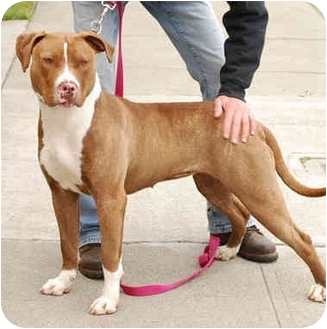American Pit Bull Terrier Mix Dog for adoption in Berkeley, California - Jody