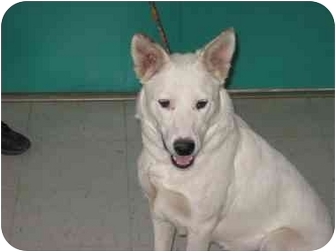 German Shepherd Dog/Labrador Retriever Mix Dog for adoption in Gallup, New Mexico - Charlie