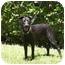 Photo 1 - Labrador Retriever Mix Dog for adoption in Houston, Texas - Summer