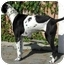 Photo 3 - English Pointer/Pointer Mix Dog for adoption in El Segundo, California - Cowboy