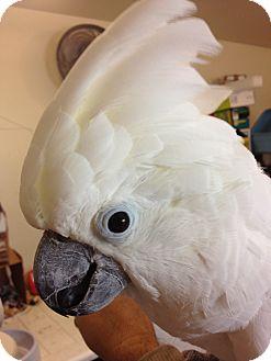 Cockatoo for adoption in Fallbrook, California - Cozma (Coz)