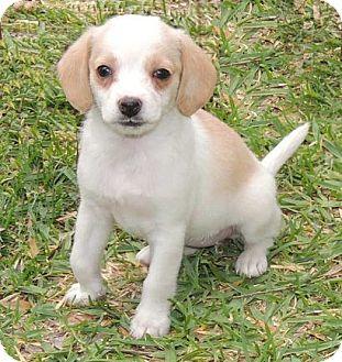Beagle/Cocker Spaniel Mix Puppy for adoption in La Habra Heights, California - Tina