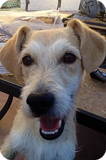 Fox Terrier (Wirehaired) Mix Dog for adoption in Henderson, Nevada - Whiskey