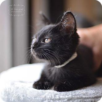 Domestic Shorthair Kitten for adoption in Edwardsville, Illinois - Mr. Kite