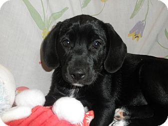 Hound (Unknown Type)/Beagle Mix Puppy for adoption in Highland Park, New Jersey - MILANO