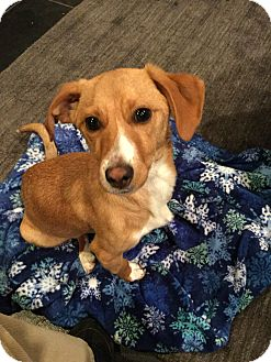 Jack Russell Terrier Mix Dog for adoption in Austin, Texas - Barney In Dallas