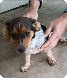 Dachshund Mix Puppy for adoption in Cat Spring, Texas - Ruby