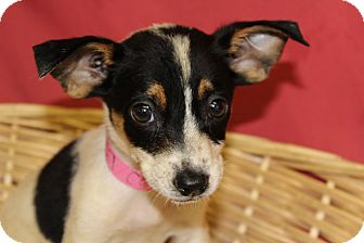 Chihuahua/Jack Russell Terrier Mix Puppy for adoption in Waldorf, Maryland - Cammie