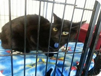 Domestic Shorthair Cat for adoption in Newburgh, Indiana - Leroy