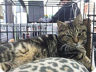 Domestic Mediumhair Kitten for adoption in Ortonville, Michigan - Teddy