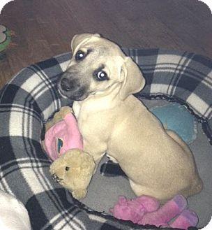 Labrador Retriever/Hound (Unknown Type) Mix Puppy for adoption in Huntsville, Alabama - Skeeter