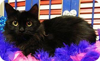 Domestic Mediumhair Cat for adoption in Columbus, Nebraska - Zelda
