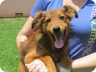 Collie/Shepherd (Unknown Type) Mix Puppy for adoption in Rochester, New York - Daley