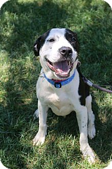 Pit Bull Terrier Mix Dog for adoption in Warrenville, Illinois - Darla