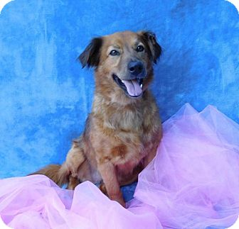 Golden Retriever Mix Dog for adoption in Charlotte, North Carolina - Lilly