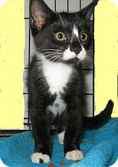 Domestic Mediumhair Kitten for adoption in Bedford, Virginia - Dash