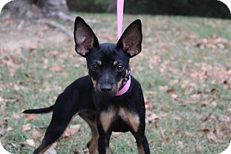 Miniature Pinscher/Chihuahua Mix Dog for adoption in Conway, Arkansas - Cruiser