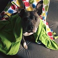 Adopt A Pet :: Pearl - Oak Lawn, IL