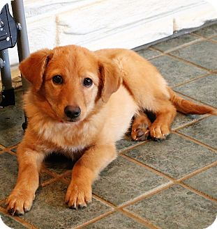 Collie/Golden Retriever Mix Puppy for adoption in Hagerstown, Maryland - Chloe