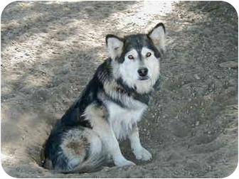 Husky Dog for adoption in Riverside, California - Princess