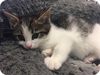 Domestic Shorthair Kitten for adoption in River Edge, New Jersey - Clove