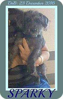 Terrier (Unknown Type, Small) Mix Dog for adoption in Albany, New York - SPARKY