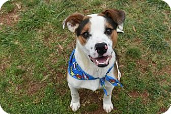 Beagle/Terrier (Unknown Type, Medium) Mix Dog for adoption in Kittery, Maine - Boscoe