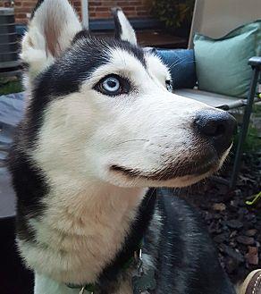 Siberian Husky Dog for adoption in Horsham, Pennsylvania - Sly Fox
