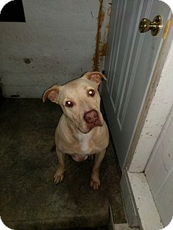 American Pit Bull Terrier Mix Dog for adoption in Chicago, Illinois - Daisy