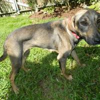 Adopt A Pet :: Sable - Umatilla, FL