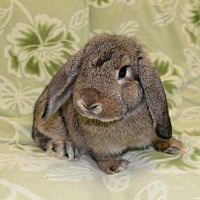 Adopt A Pet :: Tiffany - Chesterfield, MO