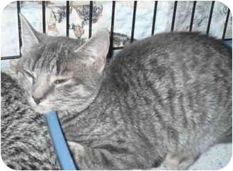 Domestic Shorthair Kitten for adoption in Colmar, Pennsylvania - Graycie
