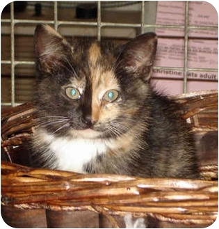 Domestic Shorthair Kitten for adoption in Colmar, Pennsylvania - Dazzle